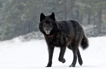 Black Wolf Special Project